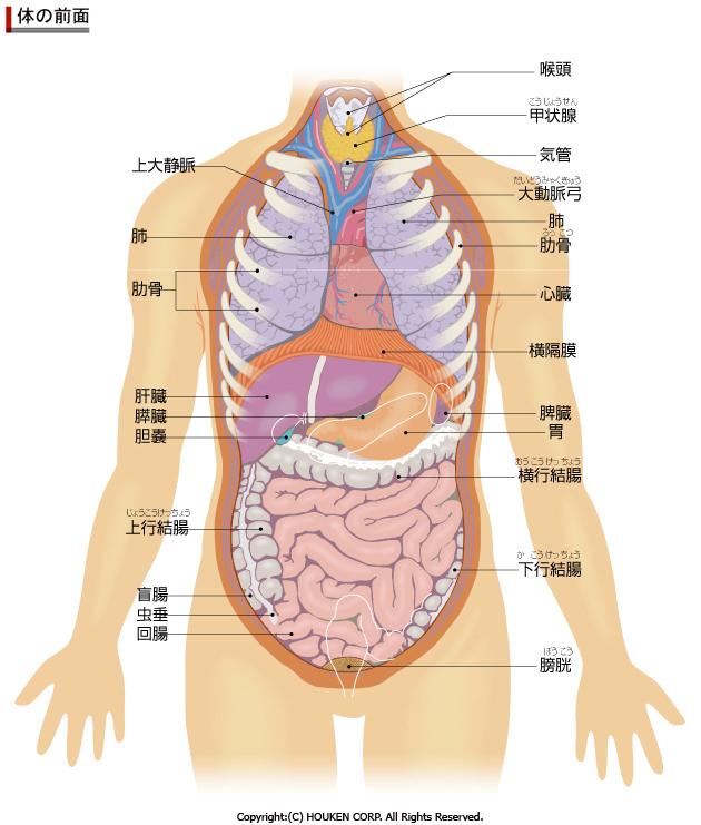 「肋骨と内臓の位置関係」の画像検索結果